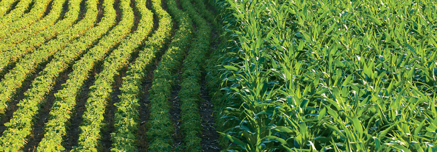 The Importance of Sulfur in Corn and Soybean Production